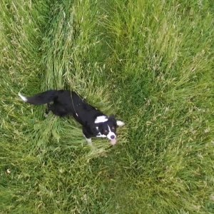 K9 Eddie the collie cross, running with a drone.